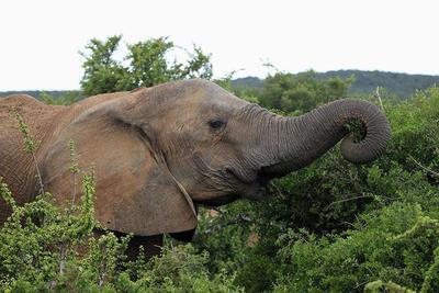 饿急大象拦下汽车觅食:横剖开车顶 画面吓人