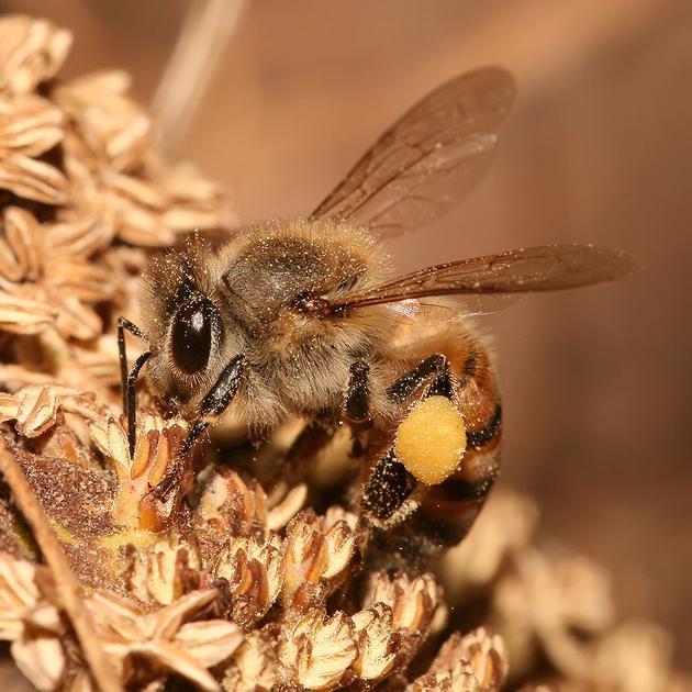 正在采蜜的西方蜜蜂,拍摄于坦桑尼亚