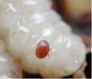 一只在蜜蜂幼虫上的瓦螨