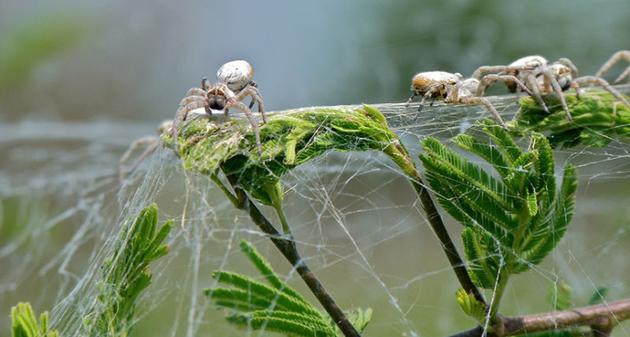 """蜘蛛""""食母"""":未交配雌性穹蛛甘愿被养子吃掉"""