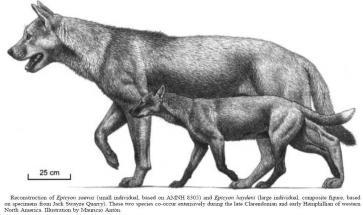 已经灭绝的上犬属动物是北美洲特有的,有些种类像今天的狮子一样大,有些则与浣熊或郊狼差不多。