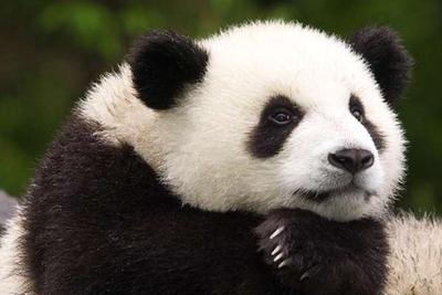 游客违规给熊猫投食苹果 园区:不要给它们带来危险