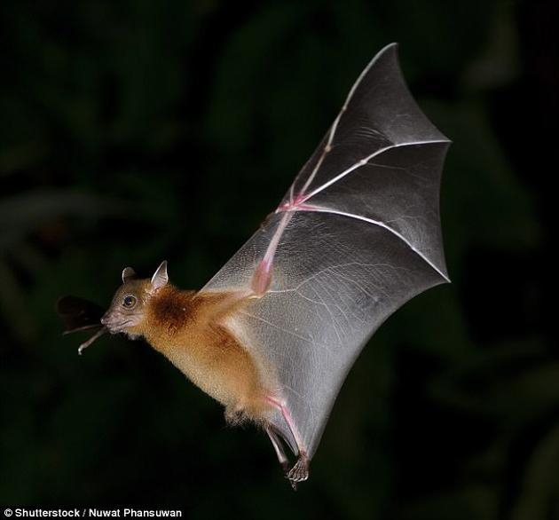 蝙蝠尽管是夜行性动物,但它们无法在黑暗中看见东西。