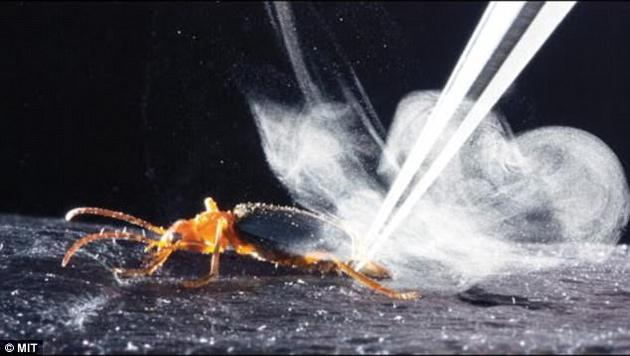 """放屁虫是大约500种甲虫的统称,以独特的防御机制为人所知,即在遇到威胁(比如蚂蚁)时会释放出酸性的气体""""炸弹""""。"""