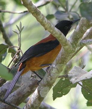 林鵙鹟属(Pitohui)鸟类在皮肤和羽毛中含有一种有毒物质,主要用来防御捕食者,这使它们成为世界上(可能)唯一的有毒鸟类。科学家发现,它们其实是通过捕食姬萤科Choresine属甲虫来获得毒素的。
