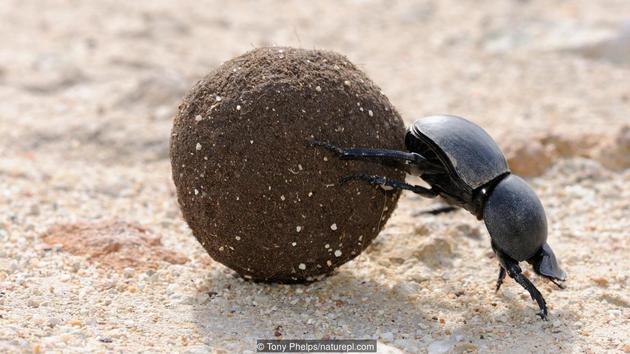 一只推着小粪球的屎壳郎