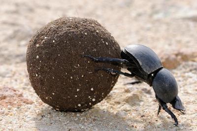 屎壳郎不为人知的故事:滚粪球帮助减少温室气体排放
