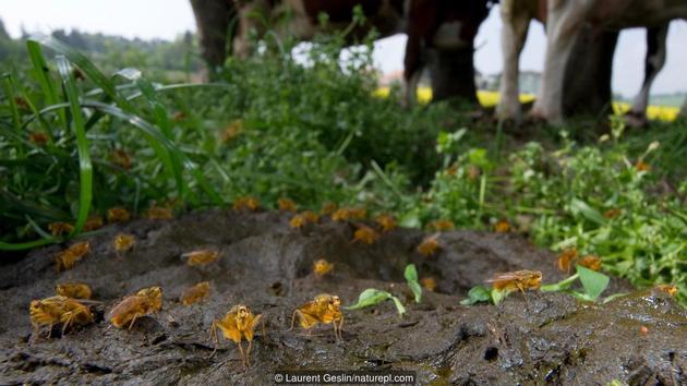 正在牛粪上进食的黄色粪蝇