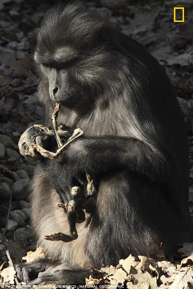 通金猕猴母亲连续几周携带幼崽尸体 最后啃食