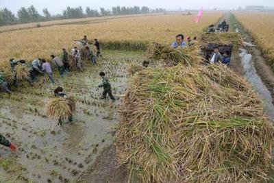 """中国科学家成功选育比人高的""""巨型稻""""最高达2.25米"""