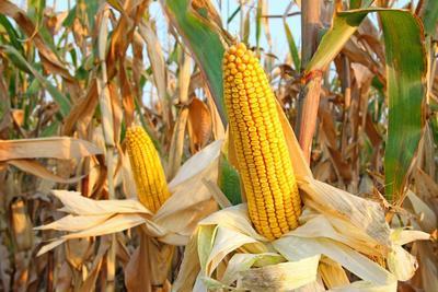 中国玉米亩产纪录刷新 高产示范田最高亩产1517公斤