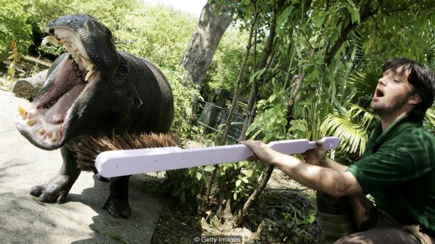 伦敦动物园一位工作人员对河马刷牙,避免其出现口腔恶臭气味。
