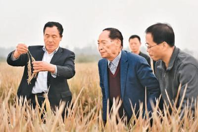 中国水稻不断给世界带来惊喜 巨人稻海水稻横空出世