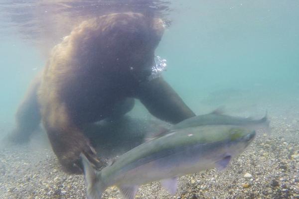 俄罗斯棕熊水下摸鱼 大秀守株待兔式狩猎技能
