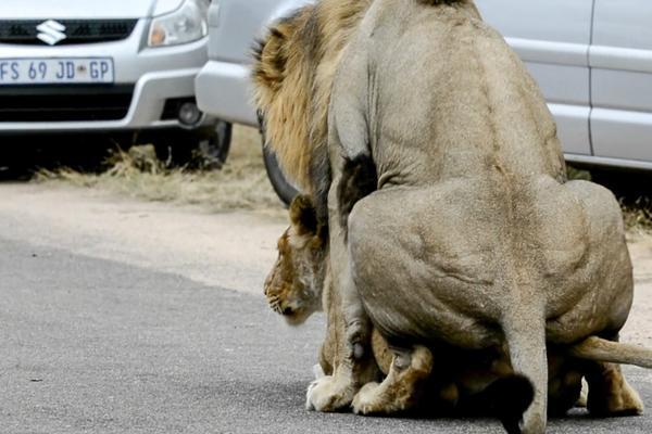 南非狮子把公路当自己家 当街交配致交通堵塞