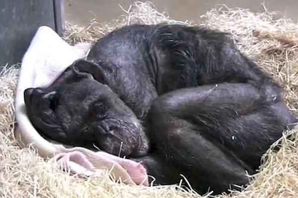 59岁黑猩猩临终前与老朋友见面:深情告别令人感动