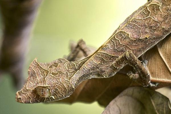 考眼力!马达加斯加壁虎完美伪装术巧妙融入自然