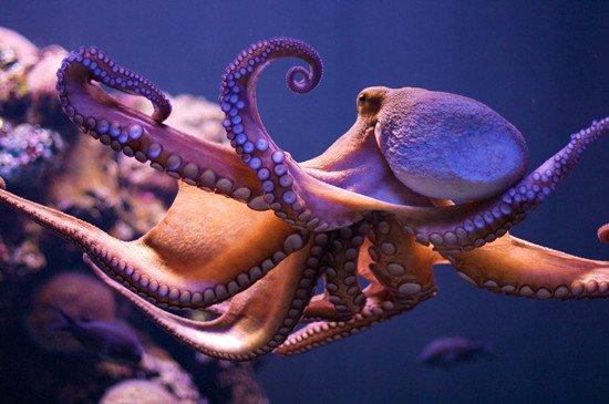 在生物学家眼中,章鱼是地球上最聪明的生物类群之一。