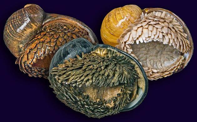 现已知三种形态的鳞角腹足蜗牛,从左到右分别来自Kairei、Longqi和Solitaire区域