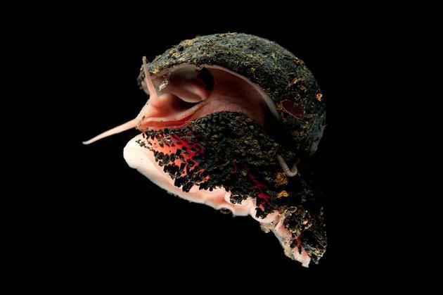 鳞角腹足蜗牛(学名:Chrysomallon squamiferum),它们的螺壳由铁的硫化物组成,腹足上覆盖着铁质鳞片
