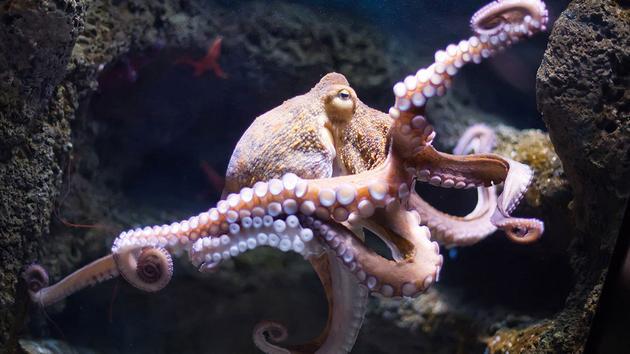 数十只章鱼现身海边 专家:或受低气压影响