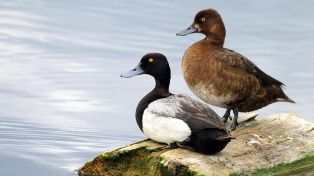 雌性(右)和雄性小潜鸭