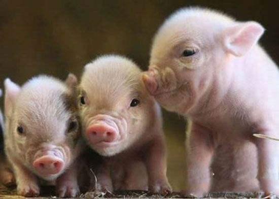 科学家培育出低脂肪转基因小猪,它们身体脂肪比普通小猪少24%。此外,它们能够燃烧脂肪,调控体温。