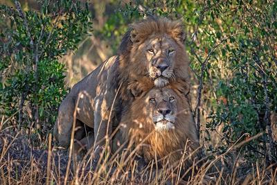 雄狮搞同性恋?专家称这仅是社交互动行为