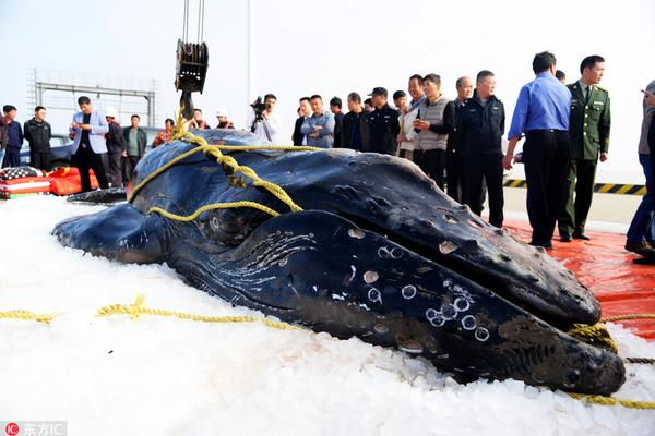 三度搁浅江苏启东海滩 座头鲸宝宝死亡