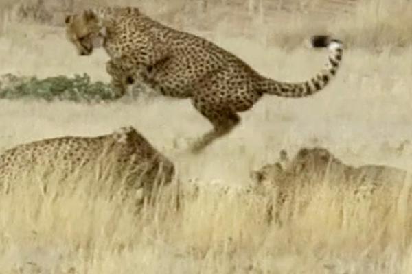 南非豹子打群架四个欺负一个:雌性豹子擅闯领地