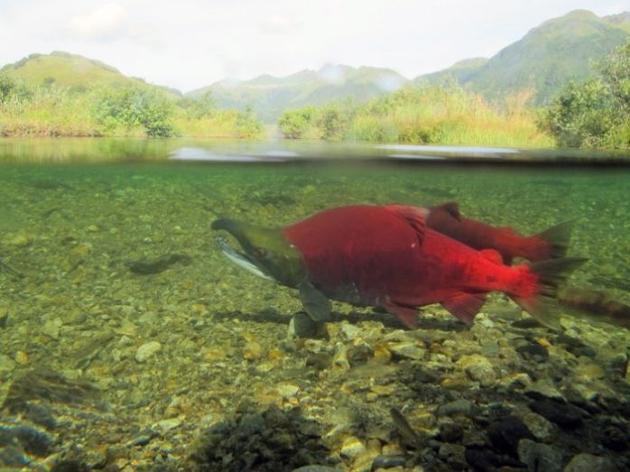 大麻哈鱼的产卵行为可能显著改变了西北太平洋沿岸的山地景观