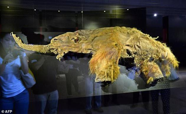 图为几年前在日本横滨展出的猛犸象化石