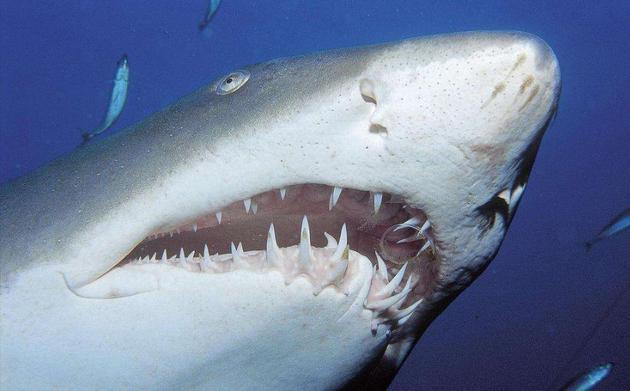 人们为啥收藏鲨鱼牙齿?巨齿鲨牙齿化石可值数千美元