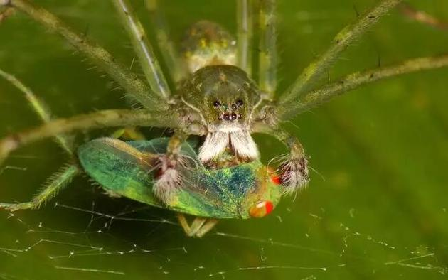 雄盗蛛会为雌蛛献上礼物