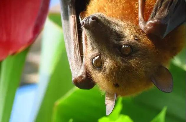 一只果蝠。蝙蝠往往比同等体型的动物长寿。