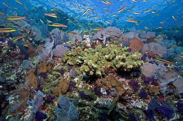 墨西哥玛丽亚群岛的珊瑚礁生机勃勃。    来源:Octavio Aburto/iLCP