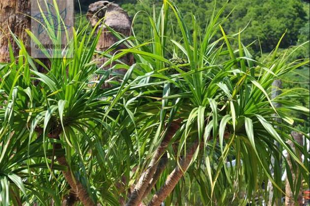 圖1:露兜樹(來源:中國植物圖像庫)