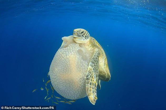 科学家最新研究发现,海龟可以进化脚蹼,使其像手一样,用于切割水母。同时,它们还使用脚蹼抓住猎物,吃珊瑚表面上的海绵,甚至在吃完之后再舔食自己的脚蹼。