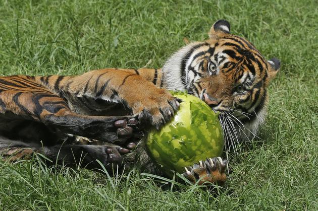 捕杀人类的6种动物:全球每年20-250人被狮子吞食!