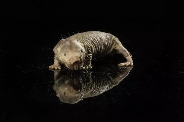 皮肤皱巴巴的裸鼹鼠可能携带着长寿的奥秘