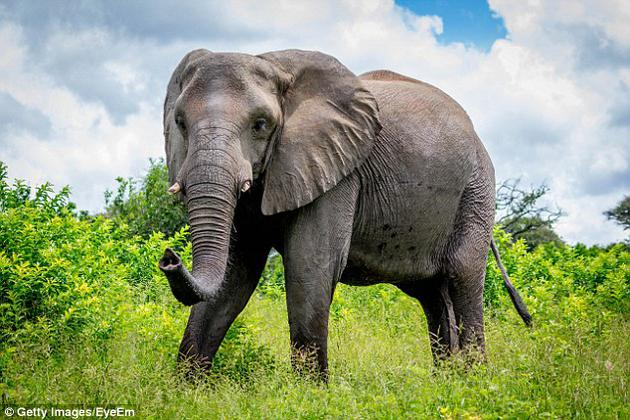 非洲公园数百头大象每天都会产生大量粪便,们的粪便大约40%是纤维素,这些粪便排出体内是容易采集到的,未来可用于制造纸张。
