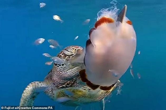 """图中是澳大利亚海域一只海龟用脚蹼""""猛劈""""水母,之前科学家认为这一动作太复杂,对于海龟的小脑袋是无法实现的。最新研究表明,海龟脚蹼具有惊人的灵活程度。"""