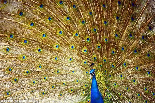 动物如何吸引和选择配偶,可能与一些炫耀特征密不可分,例如:优雅孔雀的尾巴、雄鹿的大鹿角、狮子的浓密鬃毛。