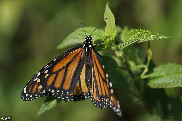 美國加州大學伯克利分校的科學家將果蠅幼蛆賦予黑脈金斑蝶(以馬利筋爲食的一種蝶類)的特性,他們的努力被認爲是人類首次對動物進行基因改良,使其倖存於完全不同的環境,同時食物和掠食者也發生了改變。