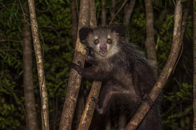 """狐猴和人類一樣,由於基因變異,它們體內的ADH7基因分解乙醇的效率比普通哺乳動物增強了約40倍。發酵的水果和花蜜對它們而言猶如天然""""雞尾酒""""。"""