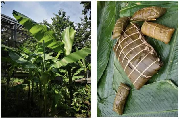 圖1:芭蕉樹(攝影:曹承娥)圖2:芭蕉葉包的糉子(來源:個人圖書館網)