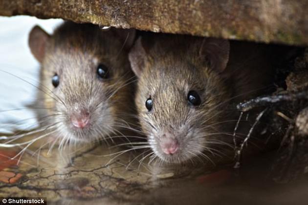 雄性褐鼠的泪管能分泌出强效的化学物质,能使雌鼠在嗅到时呆住不动,从而获得交配的机会。奇怪的是,小鼠也能嗅到这些化学物质,并将其作为捕食的预警信号<p>  石榴网官网:http://www.shiliunet.com</p> <p>  (来源:新浪科技)</p> <!--enpcontent--> <script src=
