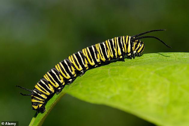 黑脈金斑蝶幼蟲可以吃馬利筋,而馬利筋對於鳥類和青蛙而言是一種有毒植物。