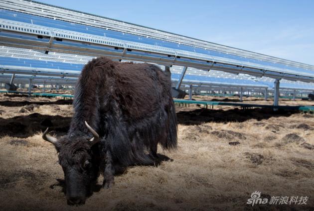 在中国,苹果建立了太阳能发电的生态:发电同时,不影响牦牛所需牧草的生长
