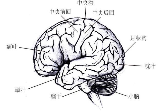 图6人类大脑的解?#24335;?#26500;图。其中月状沟附近是视觉皮层所在的位置。视觉皮层只有同其他多个脑区协同工作,才能够产生人类的正常视觉意识。(苏瑞鑫 绘制)